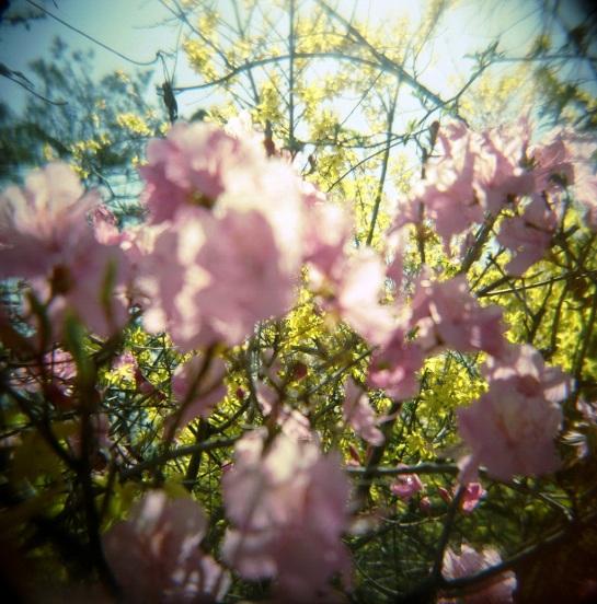 Seoul Blossoms