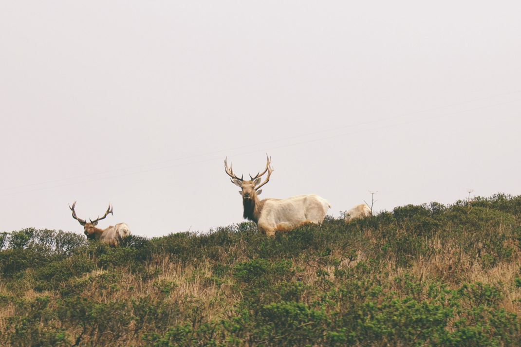 Tule Elk, Tomales Point Hike